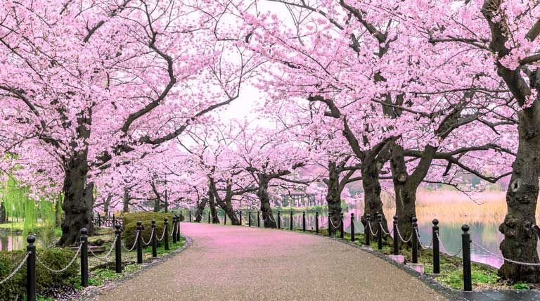 cherry-blossom-trees.jpg