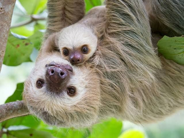 Mummy sloth will always be here to catch you when you try to fall baby sloth. I know she's been swinging off in some other trees lately, but she's back and she's ready to be the mummy she should have always been.. ❤ She is happy in this tree and promises she isn't going nowhere! ❤