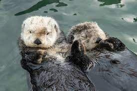 Otter hand holding.jfif