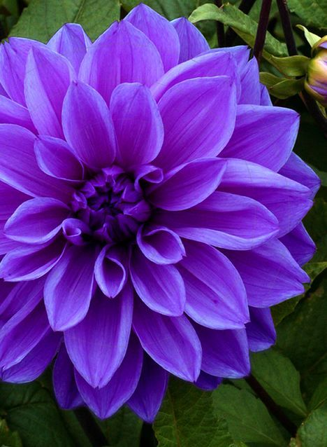 Dahlia Dinnerplate Lilac Time