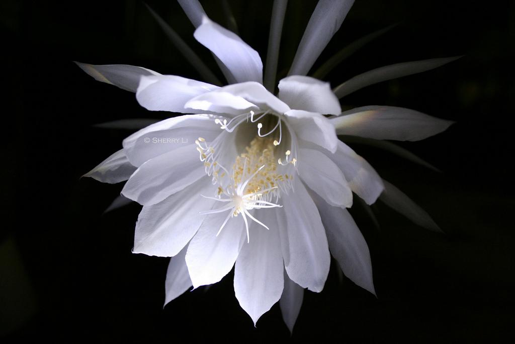 night blooming cereus night