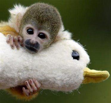 squirrel_monkey-743427.jpg