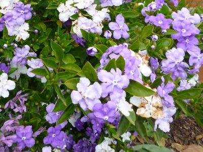 brunfelsia-pauciflora_brunfelsia-yesterday-today-tomorrow