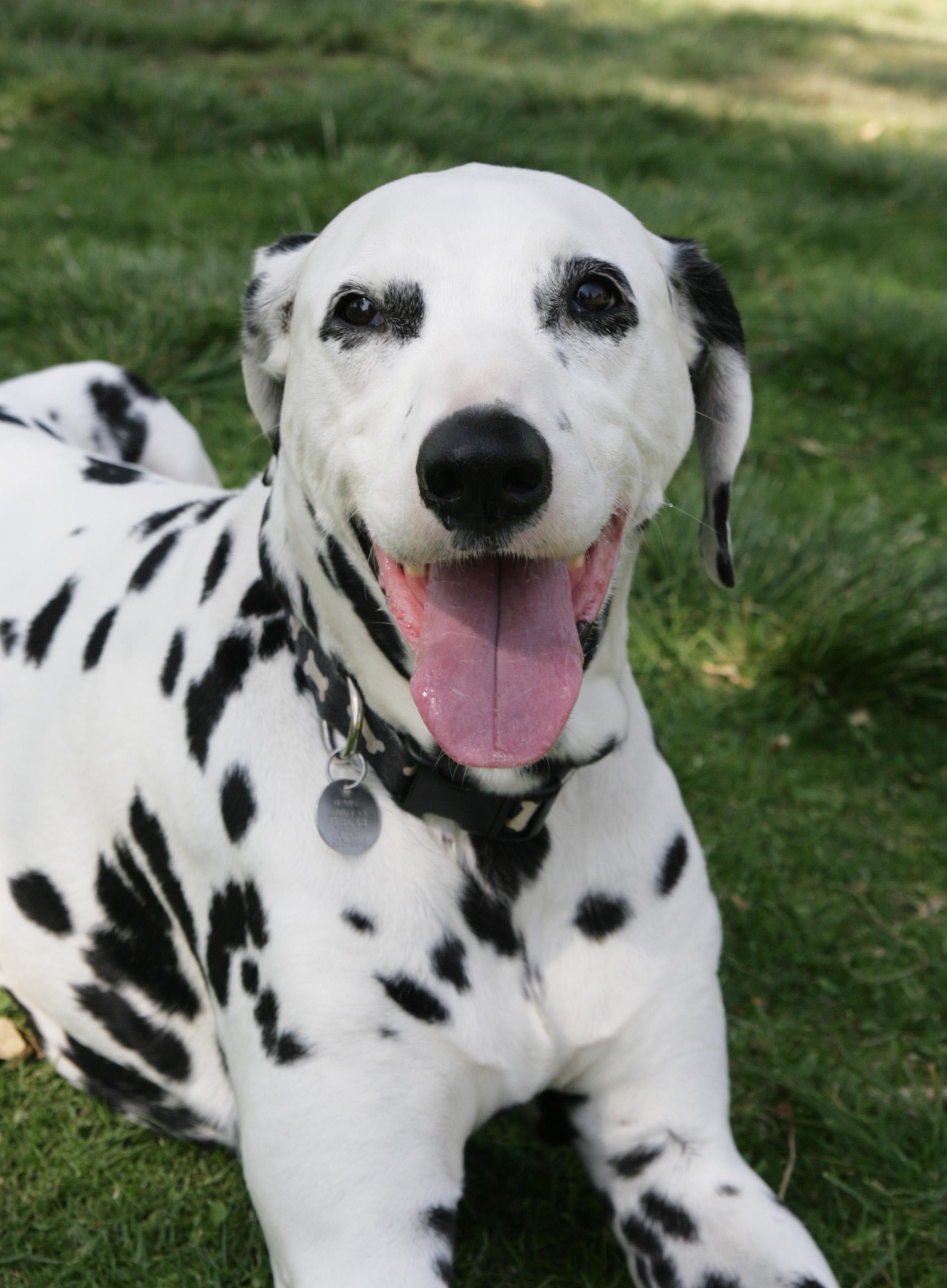 happy-dalmatian-photo.jpg