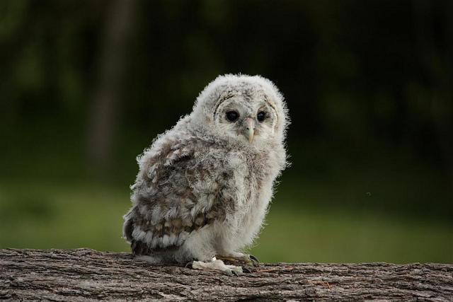 baby-owl-8.jpg