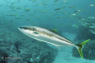Kingfish-01.jpg