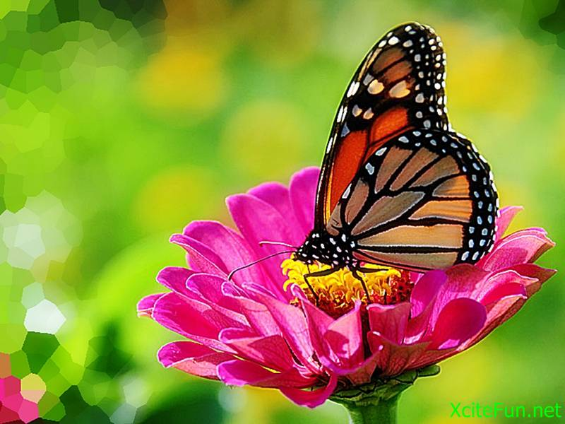 182494,xcitefun-monarch-butterfly-on-zinnia.jpg
