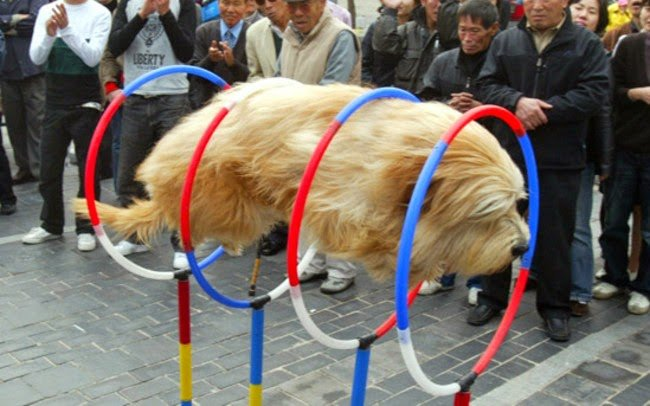 Hover+dog+is+tired+of+humoring+people_bffe76_5467050.jpg