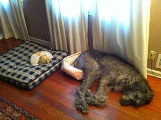 big-dog-small-bed-540x403.jpg