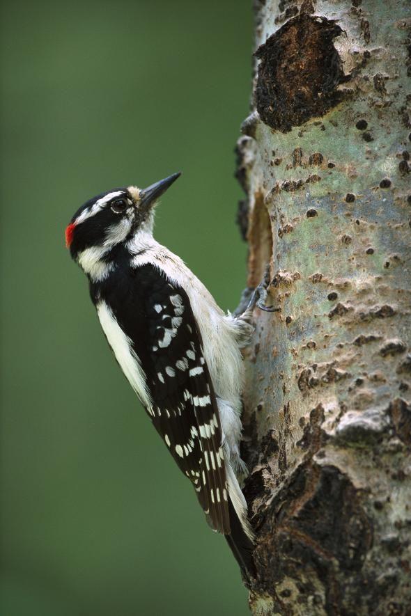 hairy-woodpecker.adapt.590.1