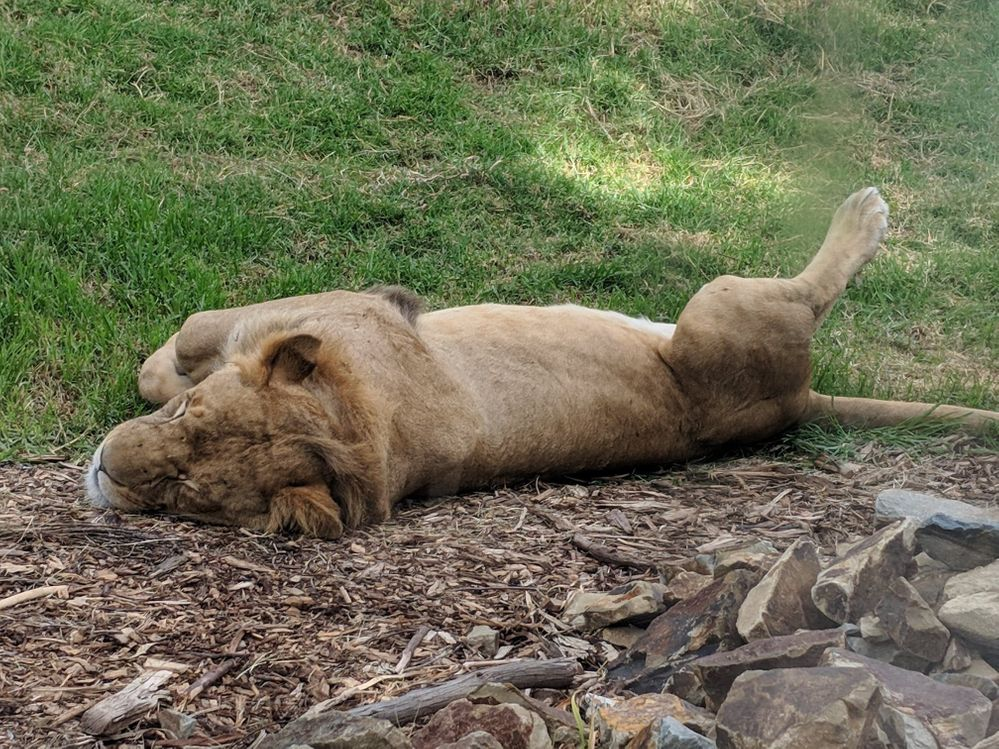 Oh and here's a big kitty I met at the zoo! (also taking a nap)